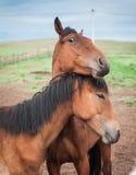 Cavalli nel villaggio di Buryat, Olkhon, il lago Baikal, Russia Fotografie Stock