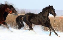 Cavalli nella neve Immagini Stock Libere da Diritti