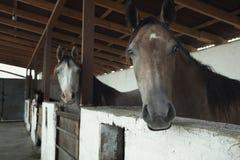 Cavalli nella scuderia Immagini Stock
