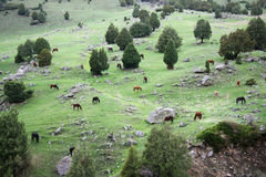 cavalli nella valle di Tien Shan Fotografia Stock