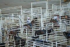 Cavalli nelle stalle, fuga precipitosa di Calgary Fotografie Stock Libere da Diritti