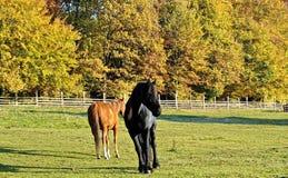 Cavalli neri e marroni dentro il recinto Fotografie Stock