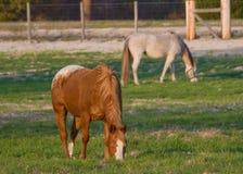 Cavalli in pascolo Fotografia Stock Libera da Diritti