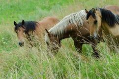 Cavalli in pascolo Fotografie Stock