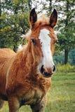Cavalli in Polonia Immagine Stock