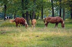 Cavalli in Polonia Fotografie Stock