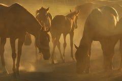 Cavalli in polvere Fotografia Stock