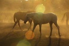 Cavalli in polvere Immagini Stock Libere da Diritti