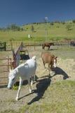 Cavalli in recinto per bestiame fuori dell'itinerario 58 ad ovest di Bakersfield, CA Immagini Stock Libere da Diritti
