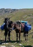 Cavalli sellati che aspettano i loro cavalieri Fotografia Stock