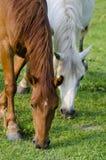 Cavalli selvaggi Immagine Stock