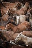 Cavalli selvaggi Fotografia Stock