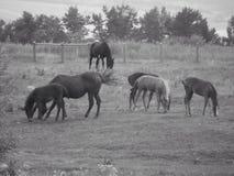 Cavalli selvaggi fotografia stock libera da diritti