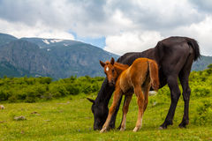 Cavalli selvaggi Immagini Stock Libere da Diritti