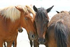 Cavalli selvaggi Immagine Stock Libera da Diritti