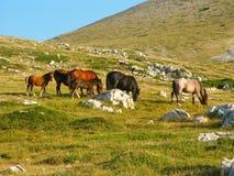Cavalli selvaggi Fotografie Stock