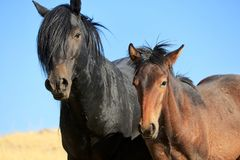 Cavalli selvaggi americani del mustang Fotografia Stock Libera da Diritti