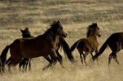 Cavalli selvaggi circa da funzionare Immagini Stock Libere da Diritti