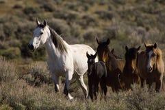 Cavalli selvaggi e giovane puledro Immagini Stock Libere da Diritti
