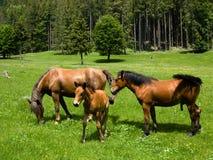 Cavalli selvaggi in montagna Immagine Stock