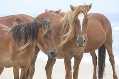 Cavalli selvaggi sulla spiaggia immagine stock
