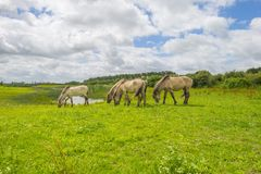 Cavalli selvaggi in un campo con i fiori selvaggi di estate Fotografia Stock