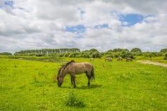 Cavalli selvaggi in un campo con i fiori selvaggi di estate Fotografie Stock