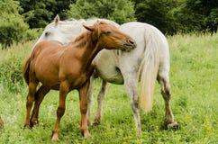 Cavalli selvaggii Fotografie Stock