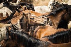 Cavalli selvaggii Fotografia Stock Libera da Diritti