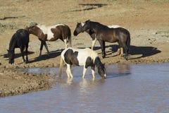 Cavalli selvaggii ad un foro di acqua Immagine Stock Libera da Diritti