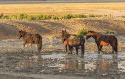 Cavalli selvaggii ad uno stagno Fotografia Stock Libera da Diritti