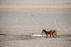 Cavalli selvaggii al foro di acqua Immagine Stock
