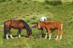 Cavalli selvaggii in Asia centrale Immagine Stock Libera da Diritti