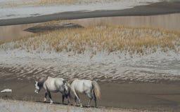 Cavalli selvaggii bianchi che camminano sul deserto Fotografia Stock Libera da Diritti