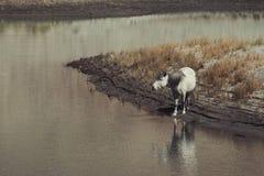 Cavalli selvaggii bianchi che camminano sul deserto Fotografie Stock