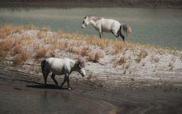 Cavalli selvaggii bianchi che camminano sul deserto Fotografie Stock Libere da Diritti