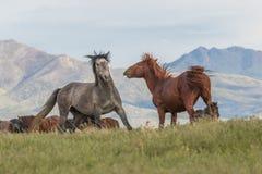 Cavalli selvaggii che combattono nel deserto dell'Utah fotografia stock