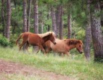 Cavalli selvaggii che corrono lungo la foresta alpina Fotografia Stock Libera da Diritti
