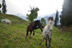 Cavalli selvaggii che galoppano in un campo Immagine Stock