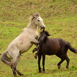 Cavalli selvaggii che giocano in un campo Immagine Stock