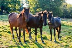 Cavalli selvaggii curiosi vicino alla foresta Immagini Stock