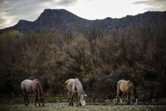 Cavalli selvaggii del fiume Salt Immagine Stock Libera da Diritti