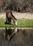 Cavalli selvaggii del fiume Salt immagini stock