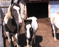 Cavalli selvaggii di Black Hills Fotografia Stock