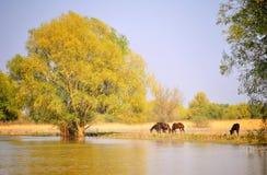 Cavalli selvaggii di delta di Danubio Fotografie Stock