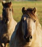 Cavalli selvaggii di Duelmener Immagini Stock Libere da Diritti