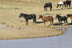 Cavalli selvaggii dopo che hanno estiguuto la loro sete Fotografie Stock