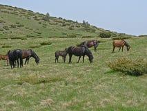 Cavalli selvaggii e mucche nelle montagne fotografie stock