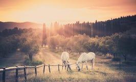 Cavalli selvaggii ed alba toscana Fotografie Stock Libere da Diritti