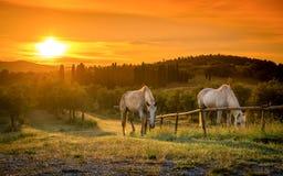 Cavalli selvaggii ed alba toscana Fotografie Stock